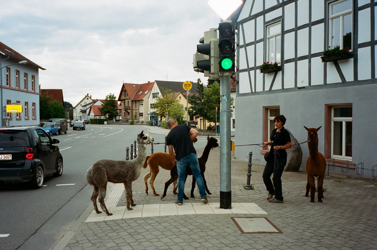 Llamas Crosswalk - Lautertal, Germany