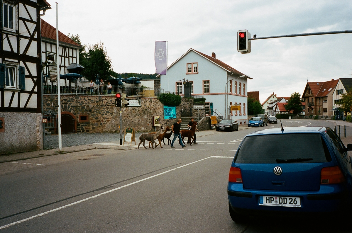 Llamas Street Crossing - Lautertal, Germany